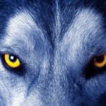 8 удивительных фактов о волках