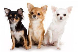 Уход и содержание породы собак чихуахуа