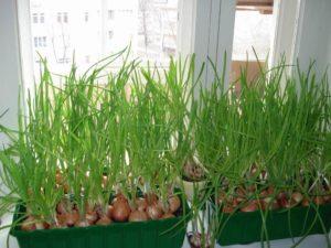 Как вырастить дома зеленый лук