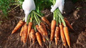 Уборка и хранение урожая моркови