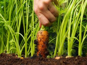Выращиваем морковь: как получить хороший урожай