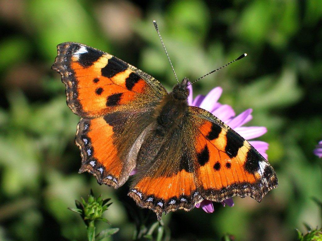 119194 1024x768 - 20 интересных фактов о бабочках