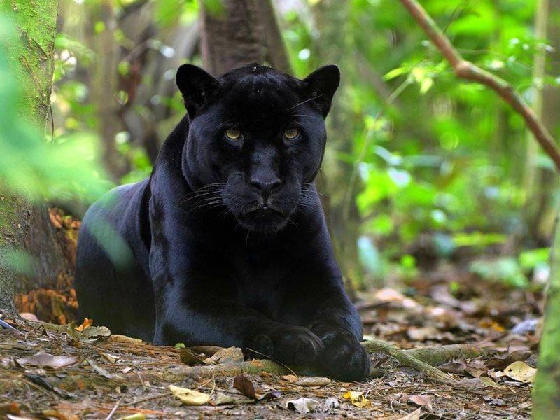 1daae99da15983664eb61c36b1401937 - 14 интересных фактов о черной пантере
