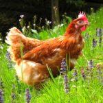 15 интересных фактов о курице
