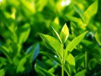 15 интересных фактов о чае