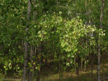 11 интересных фактов об осинах