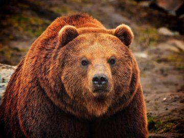 19 интересных фактов о медведях