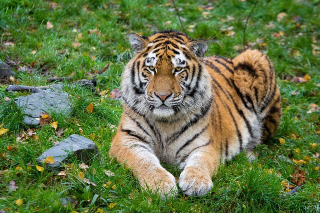 animals tiger 87338 1024x683 - 16 интересных фактов об амурском тигре