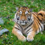 16 интересных фактов об амурском тигре