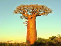 16 интересных фактов о баобабах