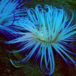 18 интересных фактов об анемонах