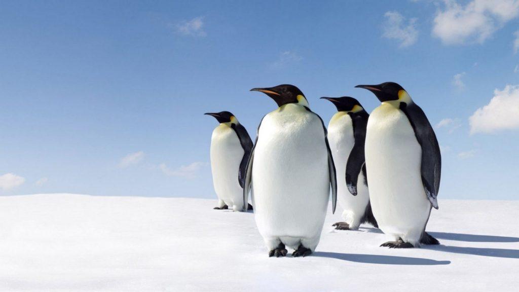 chetyre korolevskih pingvina 1024x576 - 26 интересных фактов о пингвинах