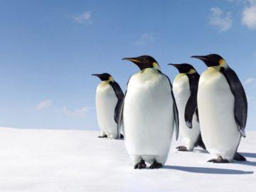 26 интересных фактов о пингвинах
