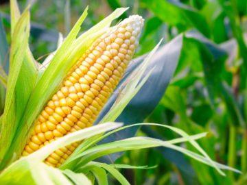 25 интересных фактов о кукурузе