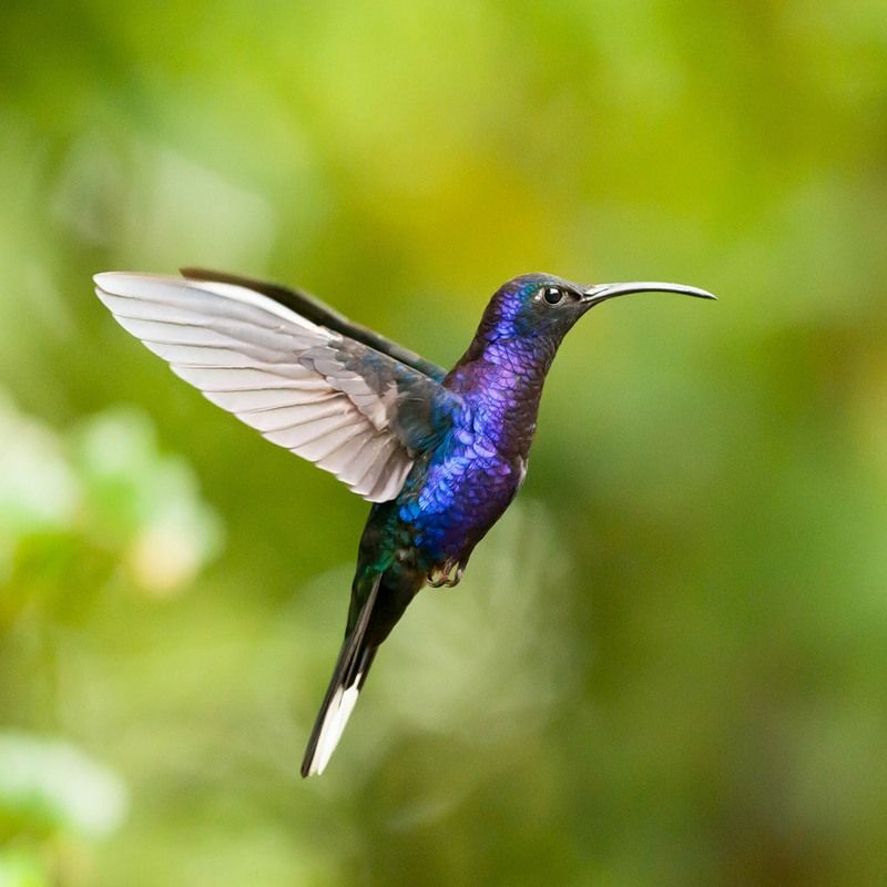 kolibri 1 - 15 интересных фактов о колибри