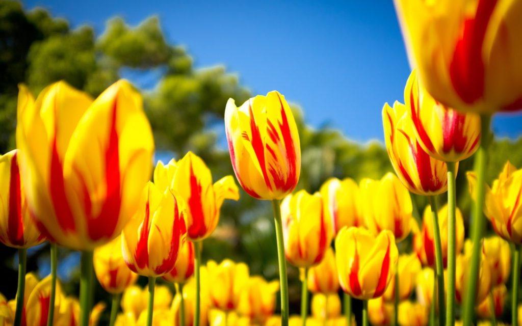 luxfon.com 12444 1024x640 - 15 интересных фактов о тюльпанах