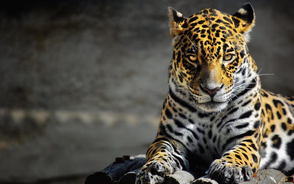 nastol.com .ua 155158 1024x640 - 25 интересных фактов о ягуарах