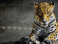 25 интересных фактов о ягуарах
