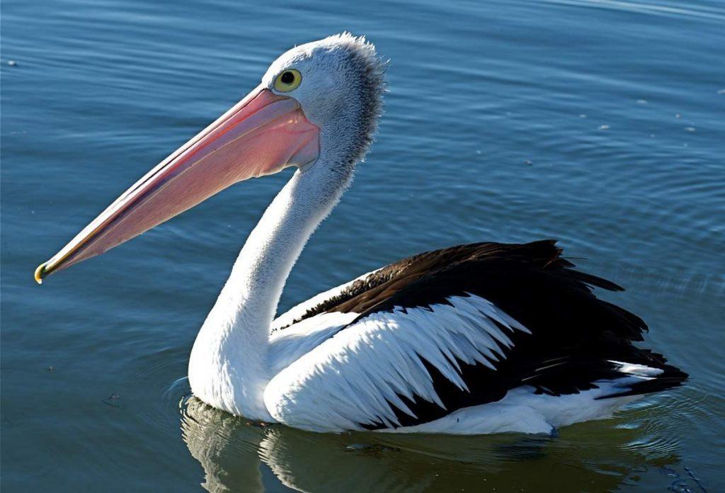 pelikan avstralijskij animal reader.ru 002 1024x696 1024x696 - 24 интересных факта о пеликанах