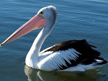 24 интересных факта о пеликанах