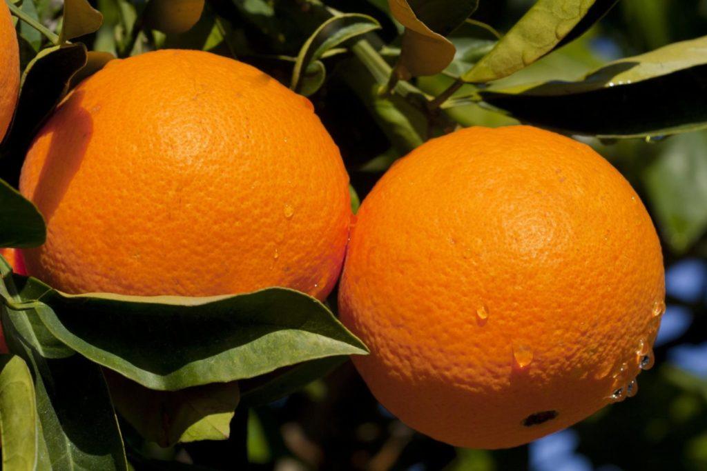 post 5bb1e5190726c 1024x683 - 18 интересных фактов об апельсинах