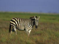 26 интересных фактов о зебрах
