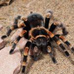 12 интересных фактов о тарантулах