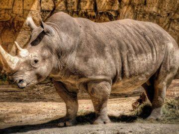 30 интересных фактов о носорогах
