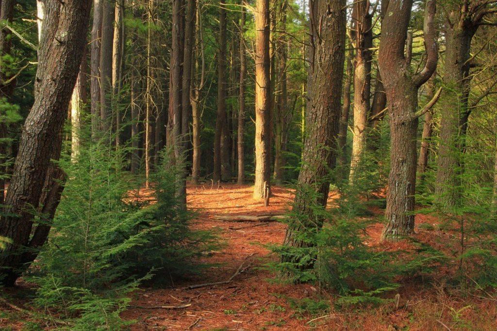 s1200 4 1024x683 - 10 интересных фактов о хвойных лесах