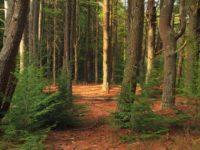 10 интересных фактов о хвойных лесах