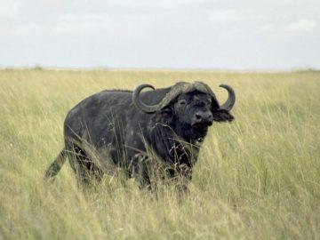 18 интересных фактов о буйволах