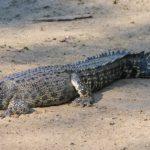 30 интересных фактов о крокодилах