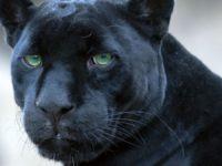 25 интересных фактов о больших кошках