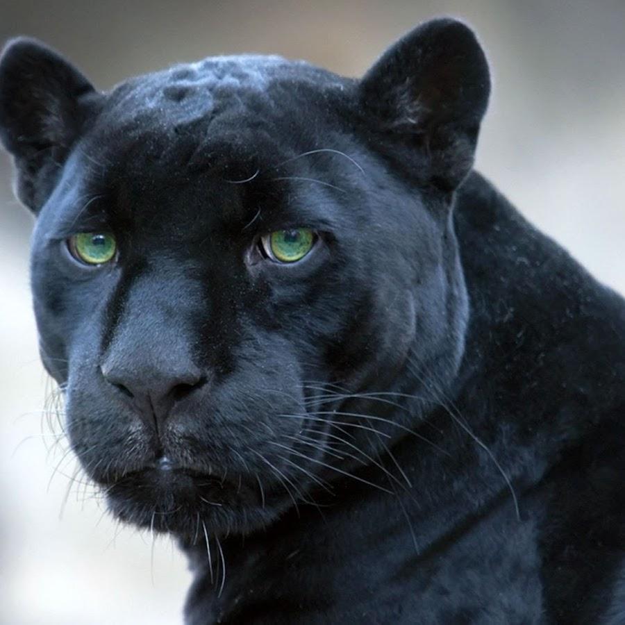 unnamed - 25 интересных фактов о больших кошках
