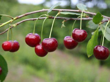 17 интересных фактов о вишне