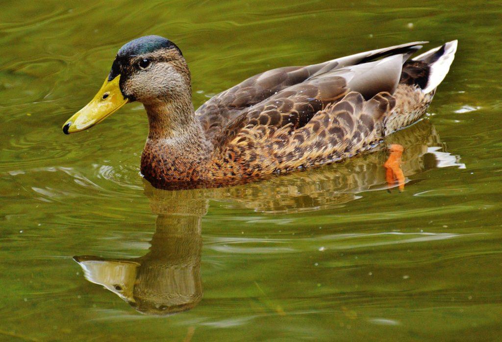 water bird wing cute wildlife swim beak fauna poultry duck vertebrate waterfowl waters water bird mallard canard mirroring ducks geese and swans 562861 1024x698 - 18 интересных фактов об утках
