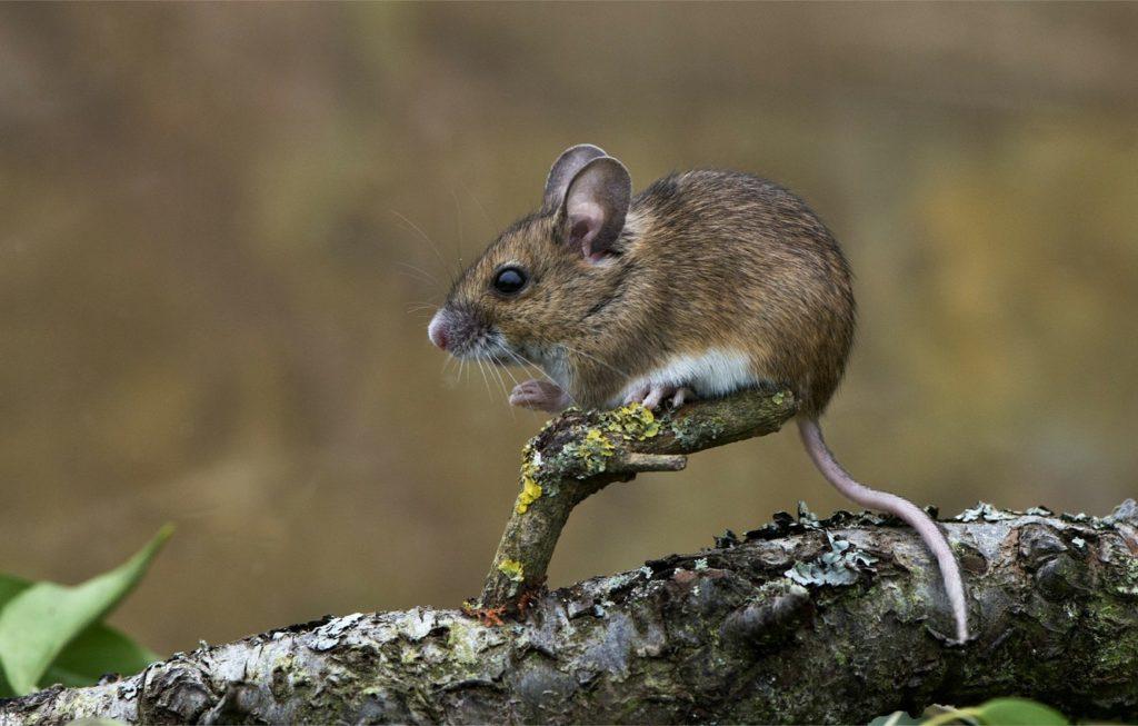 zverek mysh myshonok hvost 1024x653 - 12 интересных фактов о мышах