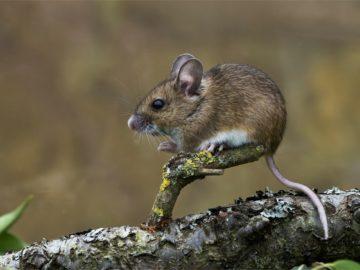 12 интересных фактов о мышах