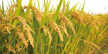 19 интересных фактов о рисе