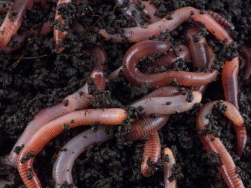 17 интересных фактов о кольчатых червях